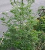Hooikoortsplant