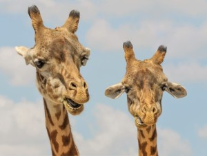 Wildparken Zuis Afrika