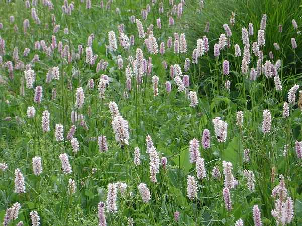 duizendknoop tuinplant